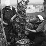 Za socializmu sme mali 30-tisíc hektárov viníc a boli sme významnými exportérmi vína: Dnes máme len okolo 9-tisíc hektárov rodiacich viníc a 50% vína dovážame...
